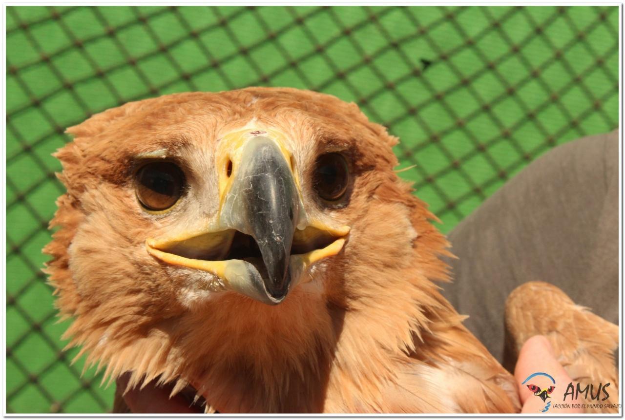 Duna, el Águila imperial electrocutada y recuperada en AMUS vuelve de nuevo a volar