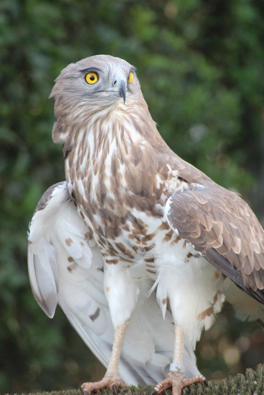 Águila Culebrera 2020(Circaetus gallicus)