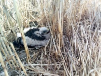 Pollito de aguilucho cenizo en su nido
