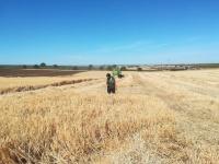 Laura comprobarndo el rodal que la cosechadora había dejado
