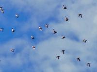 Bando de sisones en vuelo. Cada vez es más complicado observarlos en su hábitat. Especie considerada en peligro de extinción en Extremadura