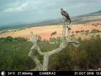 Águila imperial (Aquila adalberti). Imagen capturada por las cámaras de fototrampeo. Octubre de 2016.