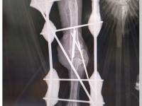 Radiografía de Flamadel, el quebrantahuesos que ha pasado por quirófano.