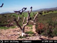 3 buitres negros volando. Abril'17