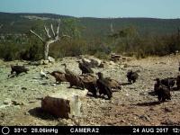 Alimoche, buitre negro y buitre leonado. Agosto'17