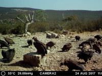 11 buitre negros. Agosto'17