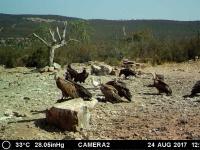 Alimoche adulto, buitres negros y leonados. Agosto'17