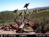 Buitres leonados en posadero. Abril'17