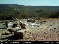Buitre leonado con marca alar amarilla VWJ. Julio'17