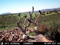 Buitres leonados y cuervos. Abril'17