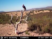 Joven águila real (Aquila chrysaetos), en el posadero del muladar.