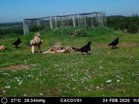 El 23 y 24 de febrero, un ejemplar de Águila Imperial ha visitado el comedero que AMUS gestiona en Oliva de la Frontera.