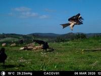 El primer fin de semana de marzo ha sido muy visitado el comedero de Oliva por milanos negros, un águila imperial, buitres negros...