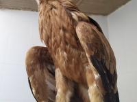 Águila imperial ibérica afectado por una electrocución a su ingreso en el hospital de AMUS.