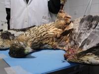 Juvenil de Águila perdicera fallecida en el hospital de AMUS. Nótese la necrosis en la pata y en ala debido a la descarga eléctrica.
