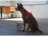 Darryl esperando la orden de la adiestradora en un entrenamiento de interior.