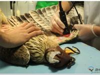 Águila perdicera en una sesión de laser en el hospital de AMUS para revertir los daños causados por una electrocución.