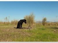 Musa, una de las perras del proyecto realiza un marcaje sobre una muestra.